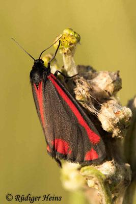 Tyria jacobaeae (Jakobskrautbär oder Blutbär), 26.6.2020