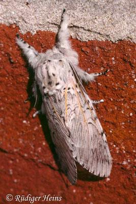 Cerura erminea (Weißer Gabelschwanz), 28.7.1996 (Scan vom Dia)