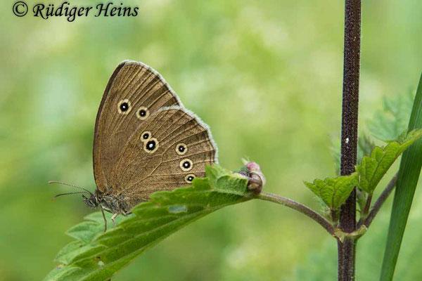 Aphantopus hyperantus (Brauner Waldvogel), 15.7.2020