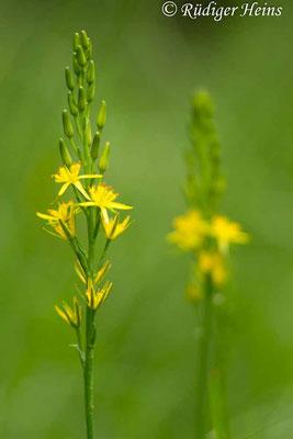 Narthecium ossifragum (Moorlilie, Beinbrech), 17.7.2019