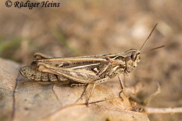 Chorthippus mollis (Verkannter Grashüpfer) Weibchen, 20.9.2017