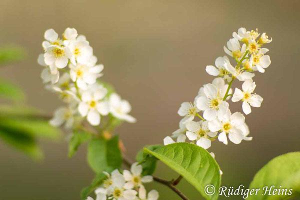 Prunus padus (Gewöhnliche Traubenkirsche), 28.4.2020