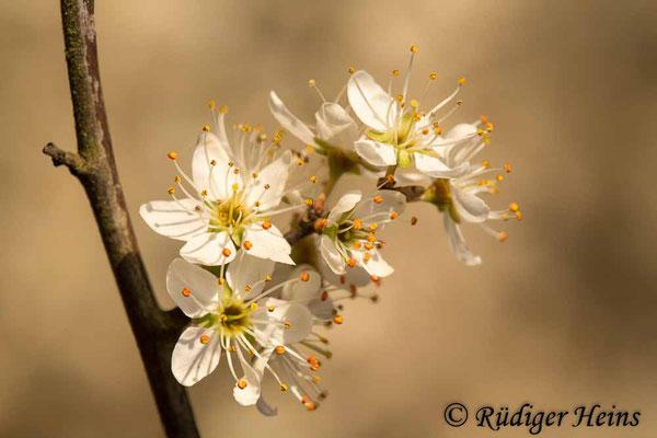 Prunus spinosa (Schlehe oder Schwarzdorn), 4.4.2020