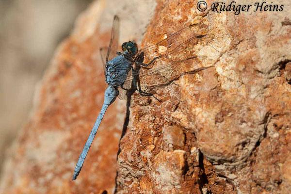Orthetrum chrysostigma (Rahmstreif-Blaupfeil) Männchen, 26.10.2007