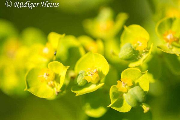 Euphorbia helioscopia (Sonnwend-Wolfsmilch), 16.6.2021
