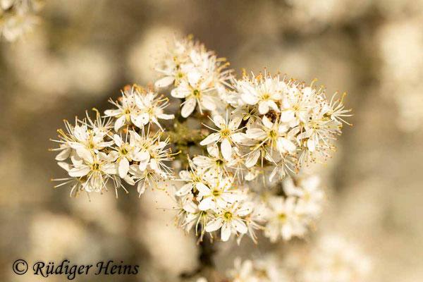 Prunus spinosa (Schlehe oder Schwarzdorn), 8.4.2020