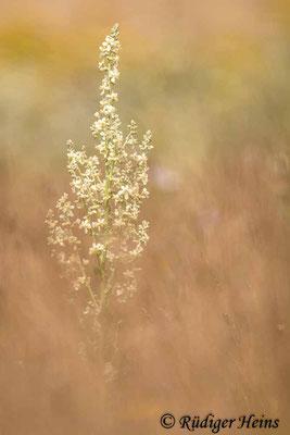 Verbascum lychnitis (Mehlige Königskerze), 14.7.2021 - Telezoom 150-600mm f/5-6,3