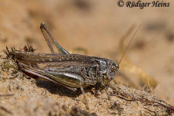 Platycleis albopunctata (Westliche Beißschrecke) Weibchen, 4.9.2017