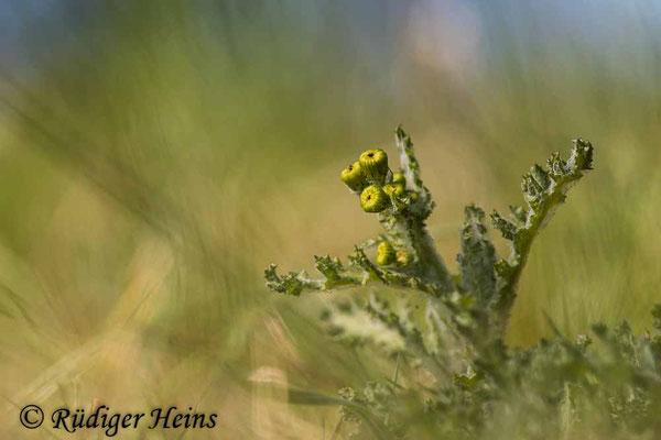 Senecio vernalis (Frühlings-Greiskraut), 16.4.2021