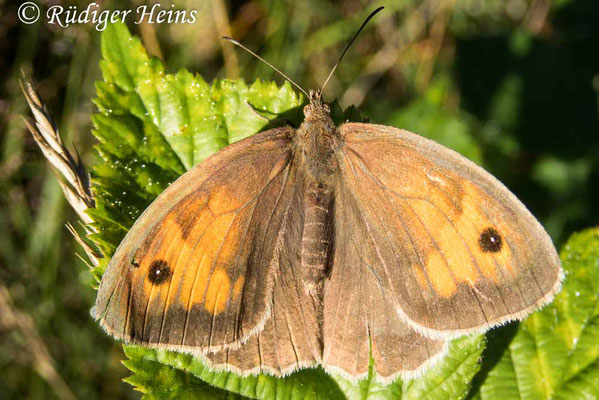 Maniola jurtina (Großes Ochsenauge) Weibchen, 12.7.2020