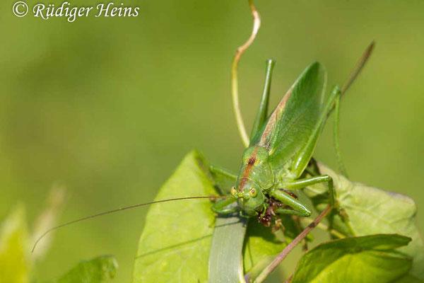 Tettigonia cantans (Zwitscherschrecke) Weibchen, 3.8.2019