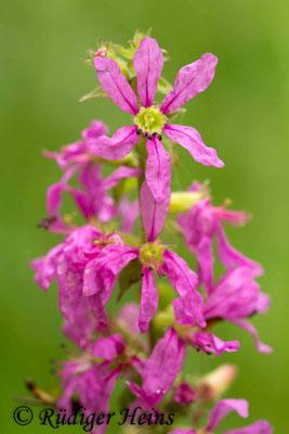 Lythrum salicaria (Gewöhnlicher Blutweiderich), 19.8.2015