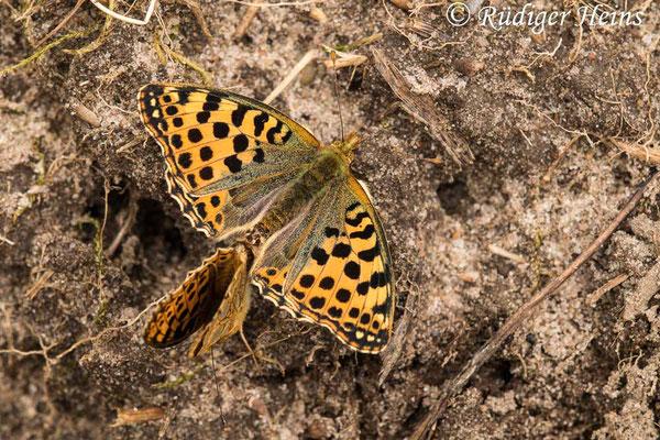 Issoria lathonia (Kleiner Perlmuttfalter) Paarung, 18.8.2021