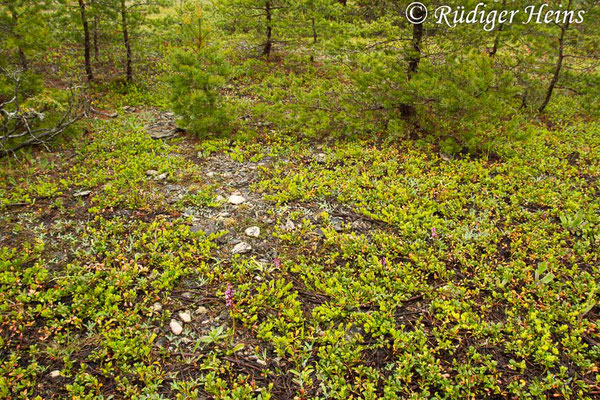 Lebensraum von Orchis spitzelii (Spitzel's Knabenkraut), 31.5.2014