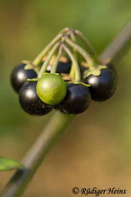 Solanum nigrum (Schwarzer Nachtschatten), 9.10.2018