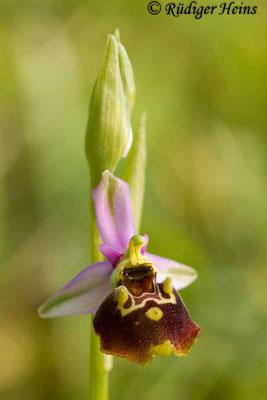 Ophrys holoserica (Hummel-Ragwurz), 21.5.2015