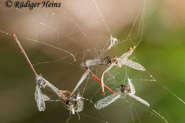 Pyrrhosoma nymphula (Frühe Adonislibelle) im Spinnennetz, 10.5.2009