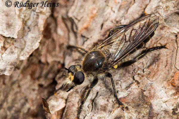 Choerades ignea (Zinnober-Mordfliege) Weibchen, 24.9.2020