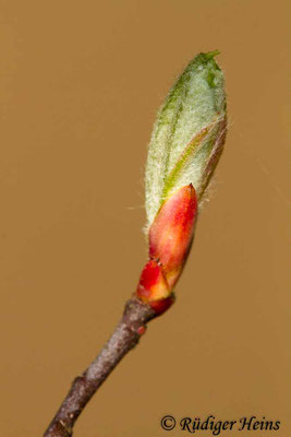 Sorbus aucuparia (Vogelbeere oder Eberesche), 9.4.2019