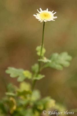 Tanacetum parthenium (Mutterkraut), 24.10.2020