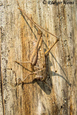 Platycleis albopunctata (Westliche Beißschrecke) Männchen, 12.9.2020
