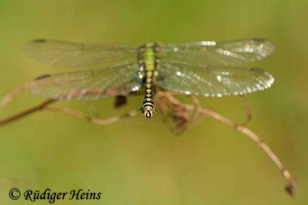 Ophiogomphus cecilia (Grüne Flussjungfer) Männchen, 3.9.2011