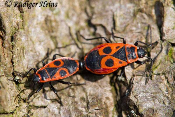 Pyrrhocoris apterus (Gemeine Feuerwanze) Paarung, 21.4.2018