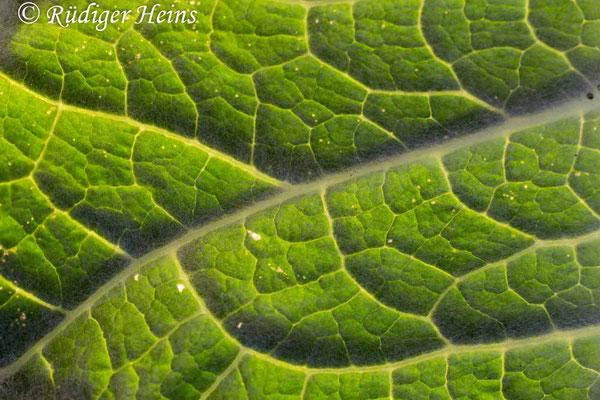 Onopordum acanthium (Gewöhnliche Eselsdistel) Blatt, 28.6.2019