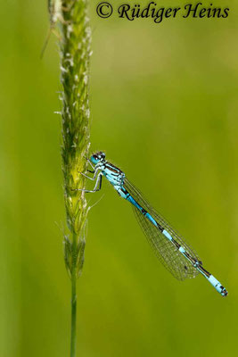 Coenagrion ornatum (Vogel-Azurjungfer) Männchen, 8.6.2013