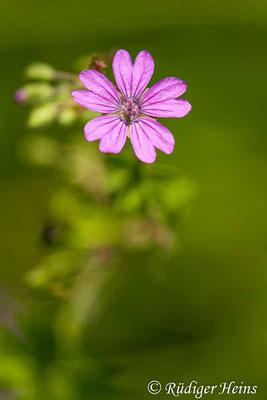 Geranium pyrenaicum (Pyrenäen-Storchschnabel), 29.5.2020