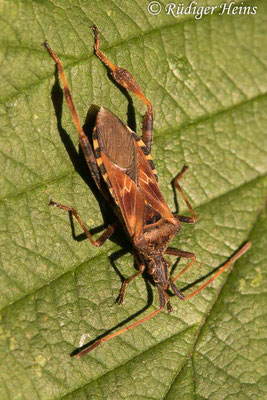 Leptoglossus occidentalis (Zapfenwanze), 12.7.2020