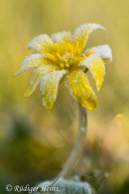 Ranunculus ficaria (Scharbockskraut), 28.3.2020