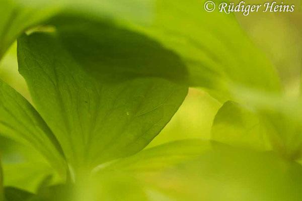 Paris quadrifolia (Vierblättrige Einbeere) Blätterdschungel, 13.5.2021 - Makroobjektiv 180mm f/3.5