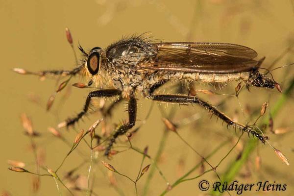 Eutolmus rufibarbis (Barbarossa-Fliege) Männchen,  30.7.2020