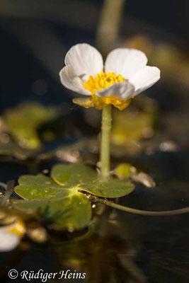 Ranunculus aquatilis (Gewöhnlicher Wasserhahnenfuß), 14.5.2020