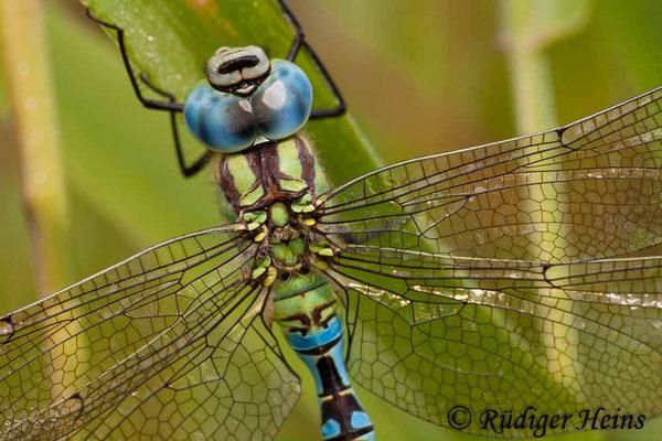 Aeshna viridis (Grüne Mosaikjungfer) Männchen, 5.8.2007