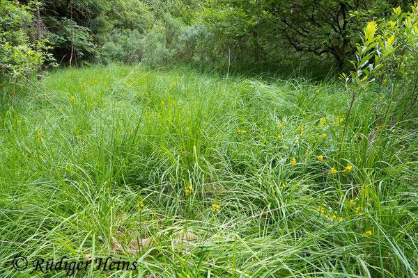 Narthecium ossifragum (Moorlilie, Beinbrech) Habitat, 17.7.2019