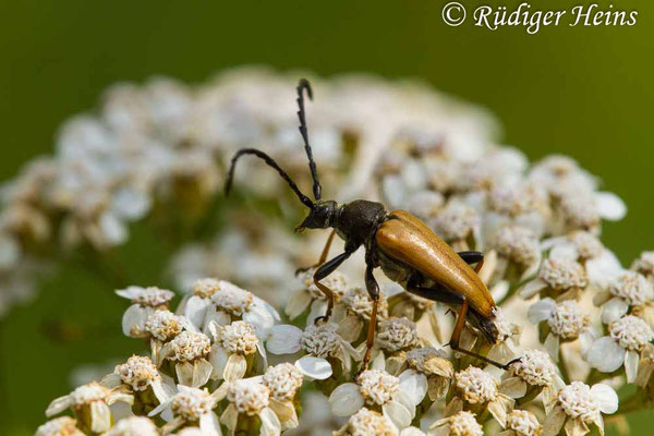 Stictoleptura rubra (Rothalsbock) Männchen, 18.7.2019
