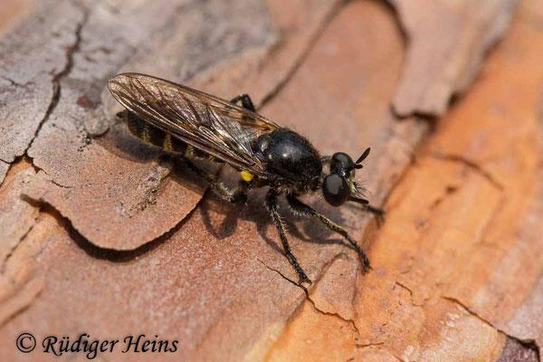 Choerades ignea (Zinnober-Mordfliege) Weibchen, 23.9.2020