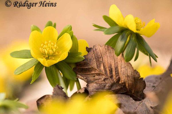 Winterling (Eranthis hyemalis), 22.2.2021