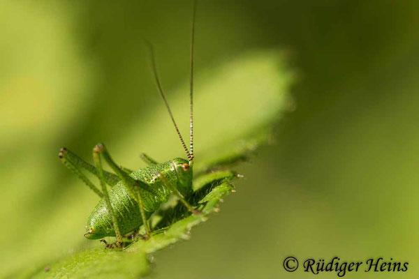 Leptophyes punctatissima (Punktierte Zartschrecke), männliche Larve, 8.7.2020