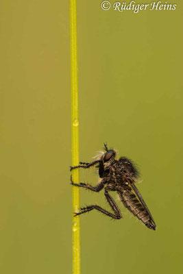 Dysmachus trigonus (Säbel-Raubfliege) Männchen, 10.6.2021 - Makroobjektiv 180mm f/3.5