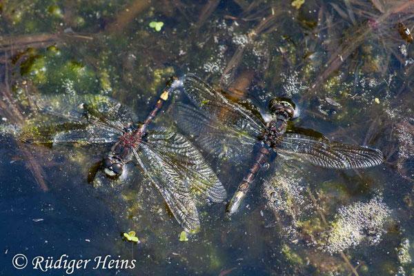 Leucorrhinia pectoralis (Große Moosjungfer) Männchen und Weibchen ins Wasser gefallen, 29.6.2008