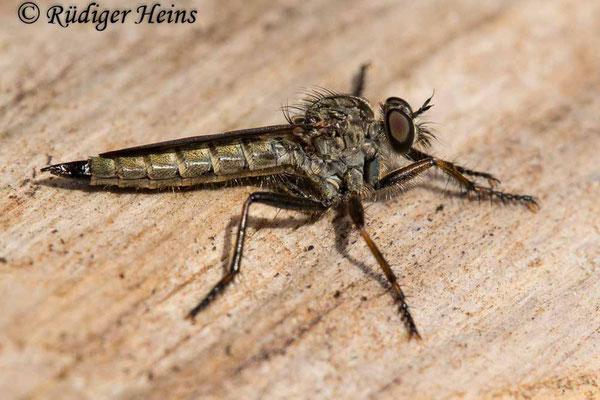 Tolmerus atricapillus (Gemeine Raubfliege) Weibchen, 21.7.2020