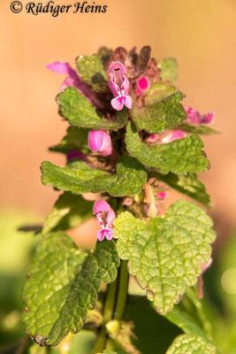 Lamium purpureum (Purpurrote Taubnessel), 3.4.2020
