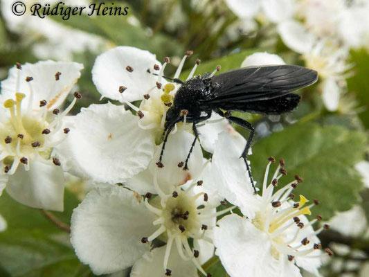 Bibio marci (Märzfliege) Weibchen, 5.5.2020