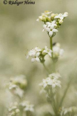 Galium harcynicum (Harzer Labkraut), 13.6.2020