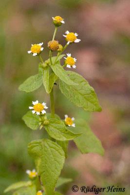 Galinsoga parviflora (Kleinblütiges Franzosenkraut), 17.11.2013