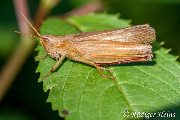 Chrysochraon dispar (Große Goldschrecke) Weibchen, 30.6.2007