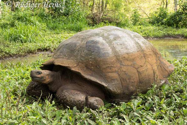 Chelonoidis porteri (Santa-Cruz-Riesenschildkröte), 15.2.2020